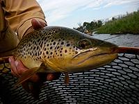 A nice brown trout cought just after dawn on the Roaring Fork River
