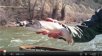 Brook Trout on the Roaring Fork River